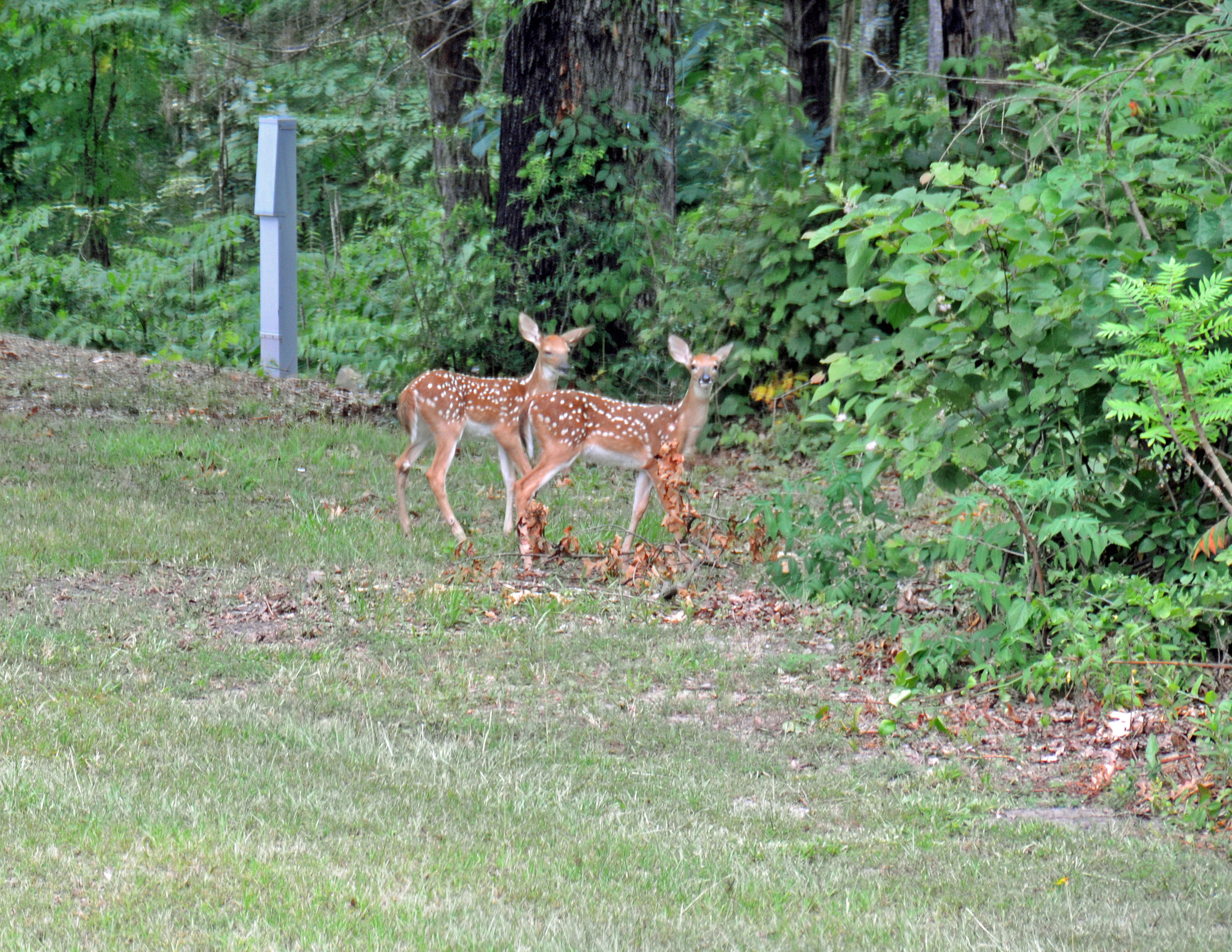 Whitetail deer fawns at a campsite on DeQueen Lake.