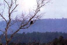 Bald eagle keeping watch over the lake.